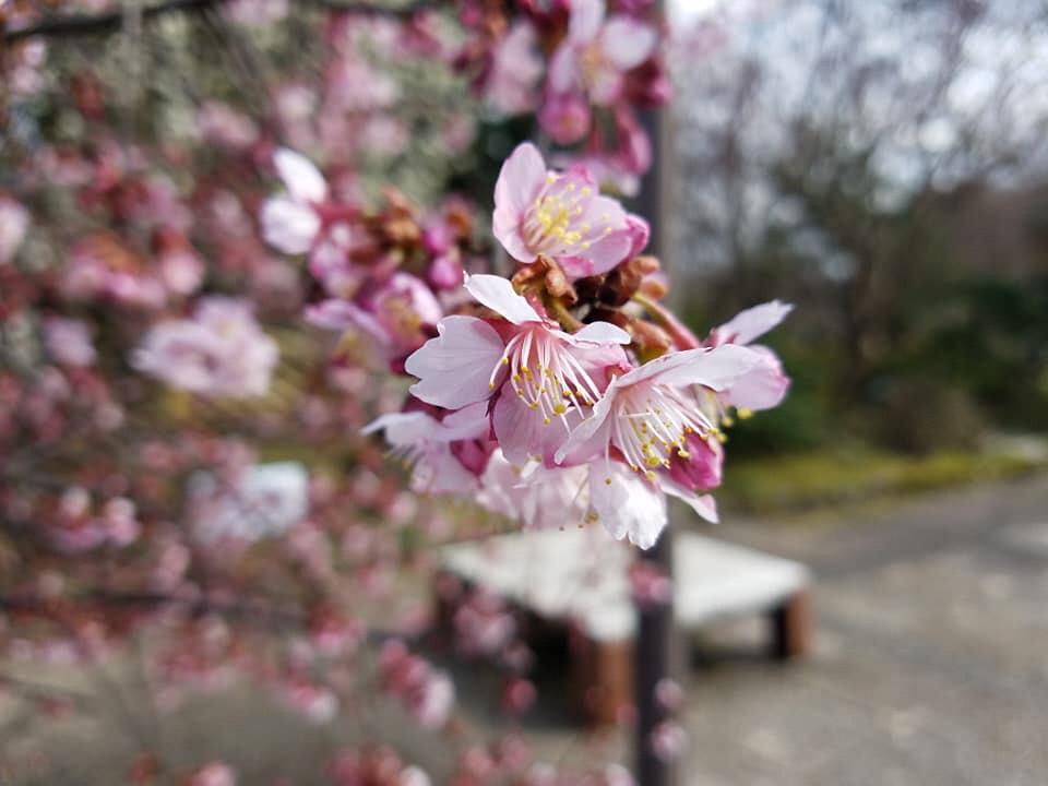 高岡古城公園の桜、そろそろ・・・
